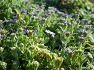 태풍 하기비스 영향으로 집체만 한 파도속에 꽃을 피운 대보리 海菊