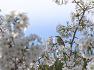 원조 논란이 되었던~ 왕벚나무 이야기