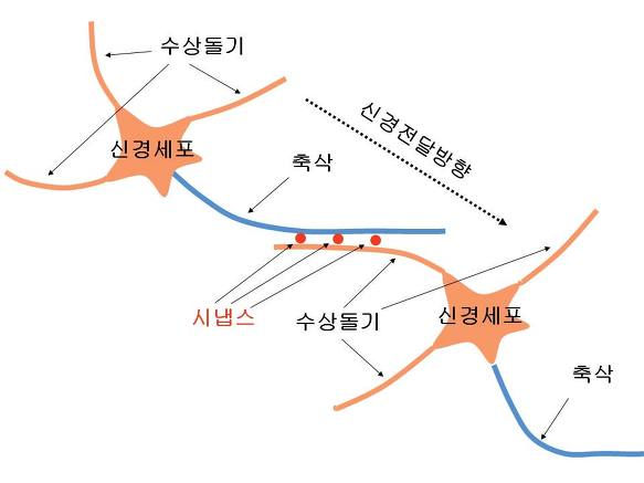 Image result for 시냅스
