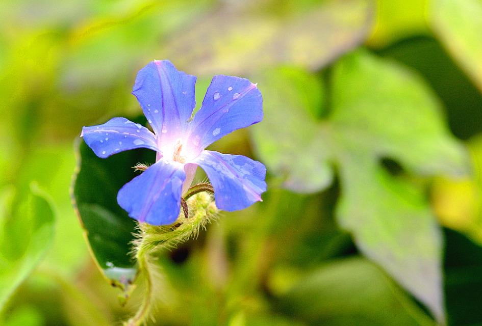 미국나팔꽃